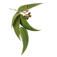 jevkalipt - Натуральные эфирные масла